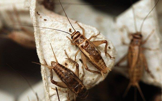 house-cricket-driving-residents-mad.jpg